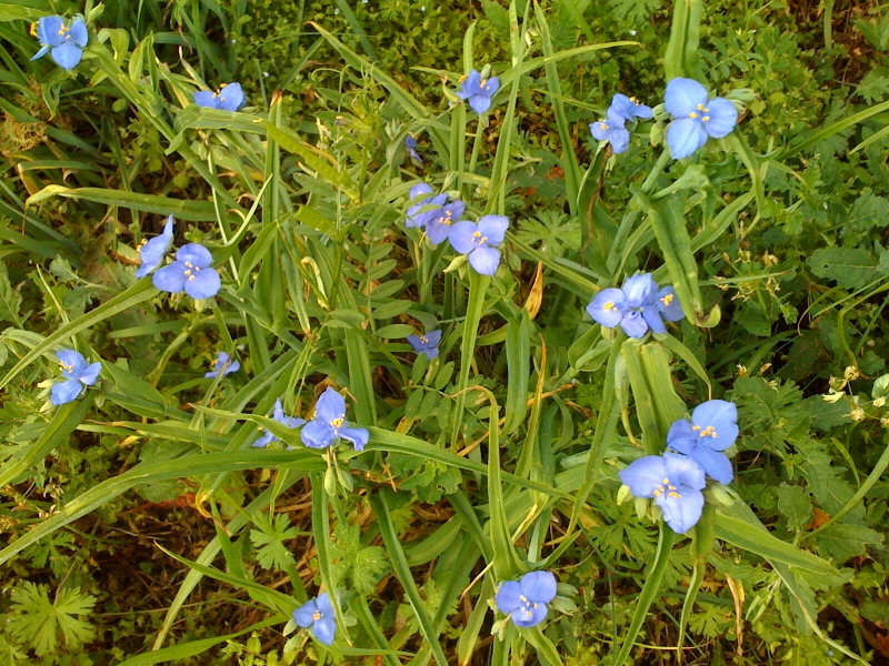 A plant that can detect ambient gamma radiation, Tradescantia